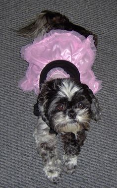 My shih tzu Betsy loves getting dressed up because it gets her extra attention from the customers at Victorian Fireplace Shop    http://www.gascoals.com