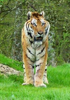April 2015. A big thank you to Sam Leach for sharing this wonderful picture of our tiger prowling after breakfast.