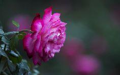 роза, цветок, макро, боке, роса
