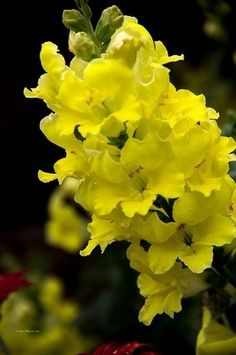 Snapdragon by Sam Sherman in WyomingSpring on Photography By Sherman's Store