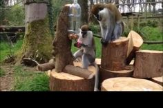 Small medium primate enrichment. Two liter bottle fixed to a log or board so it held immobile vertically. Ball on bungee is secured inside so ball blocks opening. When monkey pulls on ball, small opening in bottom allows treats to be retrieved. Google vervets to find a video of this in action.