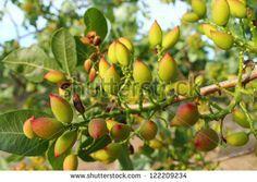 Pistachio Nut Tree | Pistachio Nut Tree Pistachio tree branch full of