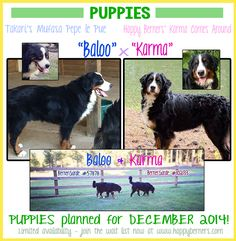 Bernese Mountain Dogs | Happy Berners| Puppies coming December 2014 | North-East Georgia