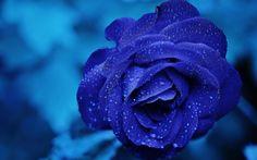 Hämta bilder 4k, blue rose, dagg, bokeh, close-up, blå blommor