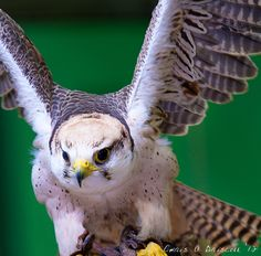 "Lanner Falcon (Falco biarmicus) can be found in the Nature Reserve ""Cornate e Fosini"" in Grosseto Italy"