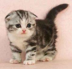Scottish Fold cute-animals