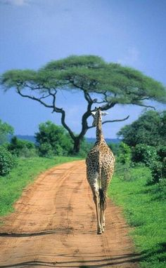 Tarangire National Park, Tanzania --a definite must is to head out on a safari in Africa for our travel bucket list Arusha, Out Of Africa, East Africa, Kenya Africa, Beautiful Creatures, Animals Beautiful, Chobe National Park, Parc National, African Safari