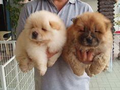 I really just want two baby bears :)   aka. chow chow puppies!