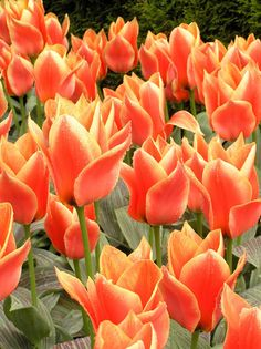 Amazing orange tulips to plant this fall!