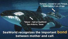 """""""Wir brauchen jemanden in SeaWorld, es gab eine Tote.."""" Am 24. Februar 2010 läuft die Orca Vorführung bei Seaworld (mal wieder) gewaltig schief, als der männliche Orca, Tilikum, seine Trainerin in …"""