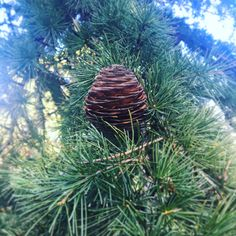 Collecting pine cones has fast become a winter tradition in my family and there are so many fabulous decorative ideas you can do with them. Shimmy over to SosoJames headquarters for inspiration🌳 Market Baskets, Pine Cones, How To Become, Traditional, Decorating, Winter, Garden, Flowers, Plants