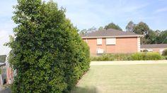 Syzygium australe 'Pinnacle'