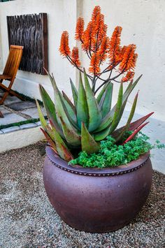 Landscaping with aloe hybrids | SA Garden and Home Succulents In Containers, Planting Succulents, Garden Plants, Garden Ideas South Africa, Backyard Landscaping, Houseplants, Gardening, Garden Tips, Landscape