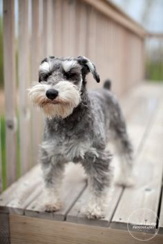 Wind in his beard.  #schnauzer