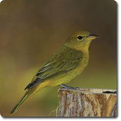 Summer #Tanager – Weird & Fun #WildBird Facts from the Wild #Bird Directory –