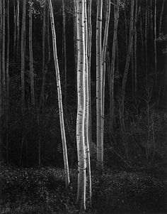 Aspens - by Ansel Adams --My favorite photographer! Simply amazing.