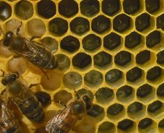 Since the queen typically starts laying in the center of a frame and moves out, brood of varying ages radiates out from the middle in a spiral. From the right, this comb has eggs, just-hatched larvae up to larvae ready to pupate, and sealed brood, or pupating young. From right to left, it takes about 21 days for worker bees to go from egg to adult.