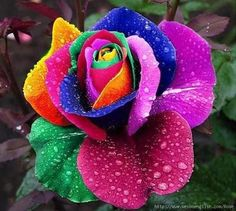 Rainbow Roses How to make this rose:  First get a white rose. Then spit the stem into 4 at its end.  Then put the 4 different parts of the stem into food colored water.  As the flowers begin to drink, it turns the flower into this!