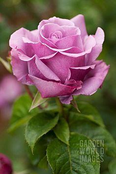 ROSA_BLUE_NILE_HYBRID_TEA_ROSE