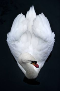 Winter White Inspiration Gallery - The Cut Swan Love, Beautiful Swan, Beautiful Birds, Cygnus Olor, Mute Swan, Animal Totems, All Gods Creatures, Jolie Photo, Love Birds