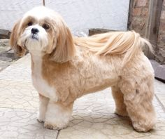 cLassie grooming - Gallery Lhasa Apso More