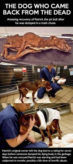 Patrick, the amazing pit bull…