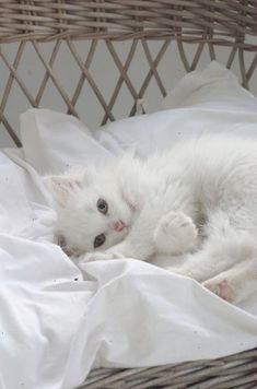 comfy little white kitten - so sweet!   Fröken Knopp : En (s)Katt... see more at