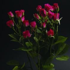 Lovely Lidya #RosesColombia #RedilRoses #ColombianFlowers #Roses #BlomFlores #Regalos