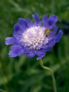 Intense purple blue flowers with white centers.fama scabiosa