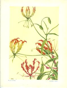 Large Vintage Flower Book Plate Glory Lily by MarcadeVintagePrints Botanical Drawings, Botanical Prints, Gloriosa Lily, Illustration Blume, Still Life Drawing, Unusual Flowers, Fashion Painting, Nature Prints, Exotic Plants
