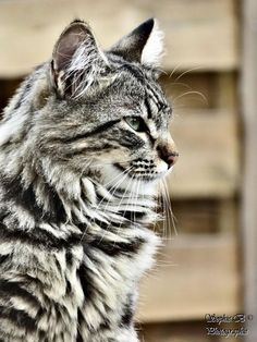 fluffy cat @yummypets #Moise #maine #coon http://www.mainecoonguide.com/where-to-find-maine-coon-kittens-for-sale/