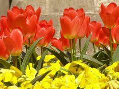Tulipanes en rojo y pensamientos amarillos
