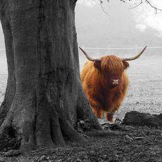 highland cattle | Flickr - Photo Sharing!