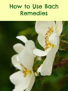 Bach Remedies are used to help heal stress, anxiety, fear and other negative emotions. Bach Flowers, Negative Emotions, Oracle Cards, Flower Cards, Natural Living, Herbalism, Remedies, Healing, Herbs