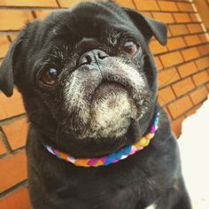 We all know that baby pugs are adorable, but there's just something special about a senior pug. 18 Photos That Prove Senior Pugs Are Still Sweet, Wholesome Babies Pug Photos, Pug Pictures, Family Pictures, Baby Photos, Pug Love, I Love Dogs, Old Pug, Black Pug Puppies, Bulldog Puppies