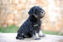 Cachorros de Schnauzer Miniatura