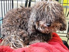 SAFE 6-27-2015 --- Brooklyn Center ROCKY – A1040851  MALE, GRAY, POODLE MIN, 5 yrs OWNER SUR – EVALUATE, NO HOLD Reason MOVE2PRIVA Intake condition EXAM REQ Intake Date 06/20/2015