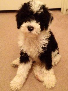 Poodle The Adorable Dog - The Pooch Online Corgi Poodle, Poodle Cross Breeds, Poodle Mix Breeds, Cute Puppies, Cute Dogs, Dog Crossbreeds, Doodle Dog, Old English Sheepdog, Dog Hacks