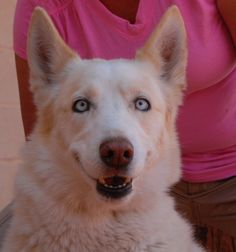 Cristallo is a bright, amiable boy debuting for adoption today at Nevada SPCA (www.nevadaspca.org).  He is a blond Siberian Husky with crystal-blue eyes, 8 years of age, now neutered.  Cristallo enjoys people and he gets along well with other large dogs.  At the time of rescue he was found roaming the streets.  We were able to find his previous owners, but they refused him.
