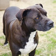 IOLA, TX - MINNIE is a Pit Bull Terrier for adoption in Iola, TX who needs a loving home.