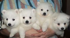 JAPANESE SPITZ: MINIATURIZATION OF SAMOYED, FIVE TIMES SMALLER