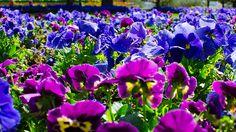 Nice - Purple carpet
