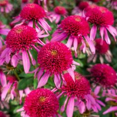 Spring Hill Nurseries Double Scoop Bubble Gum Coneflower (Echinacea), Live Bareroot Perennial Plant, Pink Flowers - The Home Depot Bulb Flowers, Love Flowers, Dried Flowers, Beautiful Flowers, Hot Pink Flowers, Dahlia Flower, Perennial Bulbs, Sun Perennials, Perennial Plant
