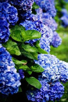 How to grow hydrangeas: Hydrangeas in full bloom are lush, eye-catching shrubs that need surprisingly little care. Best of all, they thrive in a variety of conditions. Click through to find some of the best hydrangeas based on your climate and garden.