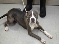 SAFE 12/29/14 --- Brooklyn Center   GUS - A1023037   MALE, GRAY / WHITE, PIT BULL / BOXER, 1 yr STRAY - STRAY WAIT, NO HOLD Reason STRAY  Intake condition EXAM REQ Intake Date 12/13/2014, From NY 11226, DueOut Date 12/16/2014 https://www.facebook.com/Urgentdeathrowdogs/photos/pb.152876678058553.-2207520000.1418592979./921262887886591/?type=3&theater