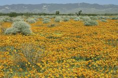 Poppies For Ever- Poppy Fields Mohave Desert California