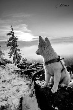 <3 White Swiss Shepherd Bílý švýcarský ovčák