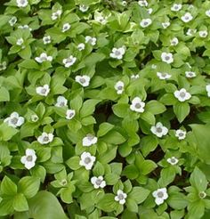Cornus canadensis - Bunchberry. Ground cover for shaded areas.