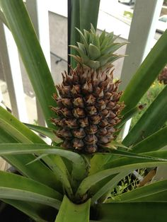 Our little pineapple is growing