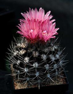 Eriosyce esmeraldana FR518 (1)
